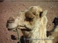 contented camel