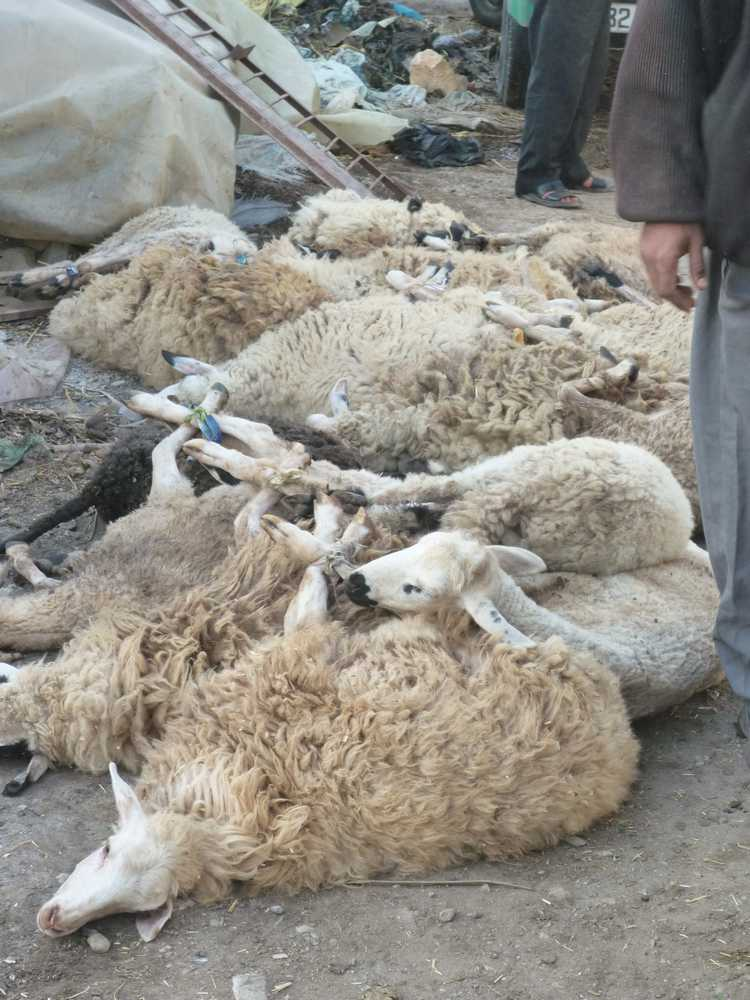 purchased sheep await their fate near the abbatoir